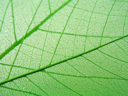 nervure: hojas verdes de textura