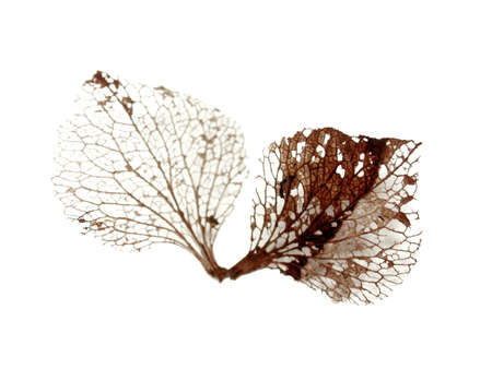 dead leaf skeletons, isolated on white  Stock Photo