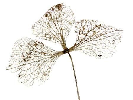 nervure: hojas de oto�o, aislados en blanco  Foto de archivo