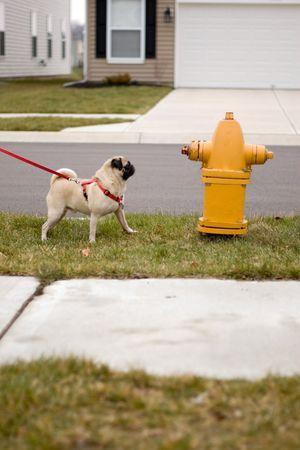 borne fontaine: un chien de roquet regardant avec convoitise une bouche dincendie.