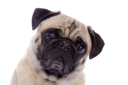 lapdog: Portrait of a fawn colored Pug dog