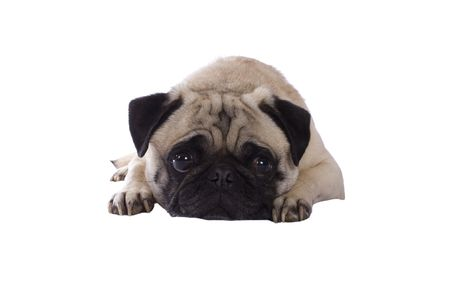 and lies: A sad looking pug lies down on the ground