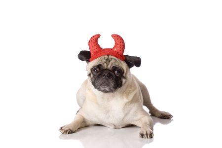 Pug dog dressed in devil costume on white background photo