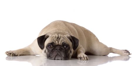 sad looking pug dog laying down against white background