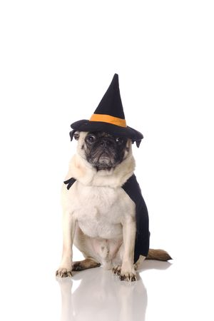 a pug dog dressed in witch costume  photo