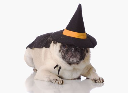 Pug dog dressed up in a halloween witch costume photo