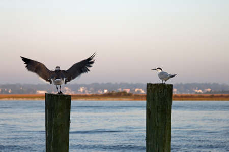 pilings: birds on pilings Stock Photo