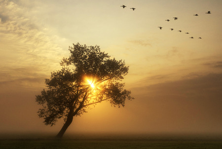 geese: flying geese above a misty meadow while the sun rises behind a bended tree Stock Photo