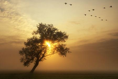 ocas: gansos volando por encima de un prado brumoso, mientras el sol se levanta detr�s de un �rbol doblada