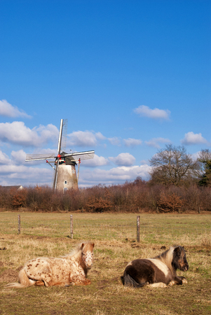Two horses resting in a meadow with the Hernense windmill in the background