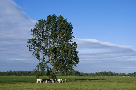 grazing cows: Grazing cows under a tree