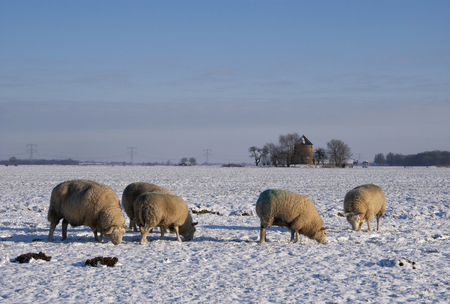 Grazing sheep in a snow covered landscape near the dutch village Oud-Alblas Banque d'images - 91308195