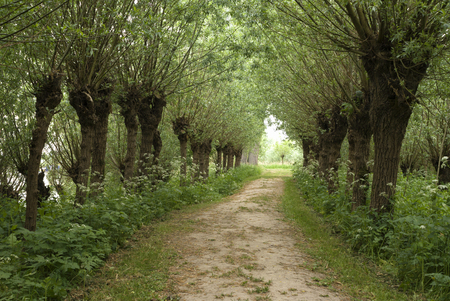 Lane with willows