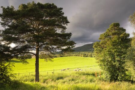 Grazing sheep on a meadow seen between two trees in the Norwegian Gudbrandsdalen region 版權商用圖片