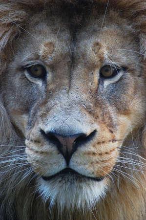 full face: Lion full face Stock Photo