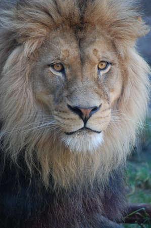 Lion Reklamní fotografie - 16622293