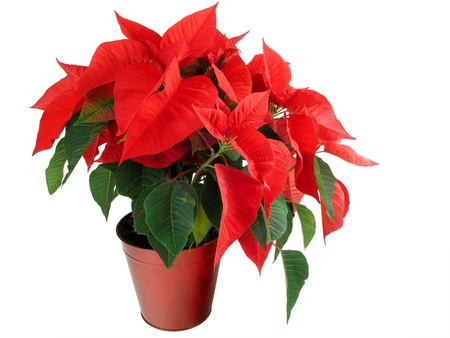 poinsettia: A Christmas Poinsettia isolated on a white background Stock Photo