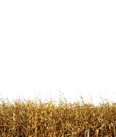 A corn field isolated on a white background   Image will tile without modification  Stock Photo