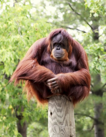An orangutan perched on a post in the woods   Has a contemplative perhaps bored look on his face   hands are sitting in his lap   He is looking to the left  Stock Photo