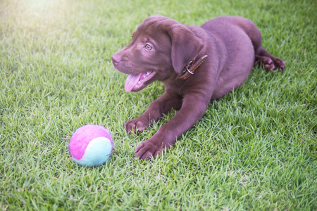 labrador retriever puppy playing the ball in backyard