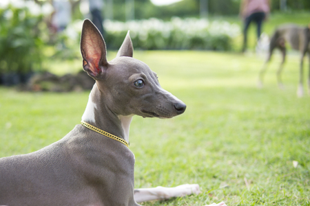 Close up photo of Italian Greyhound puppy with gold collar sitting in the summer park.