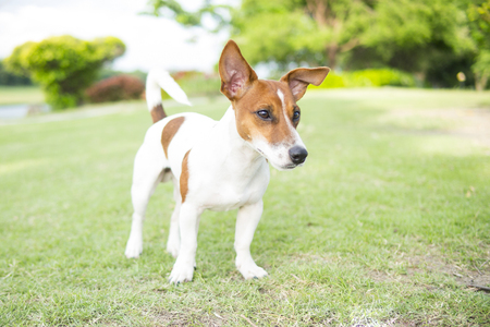 Happy Jack Russell Terrier puppy look around in the summer park. 版權商用圖片