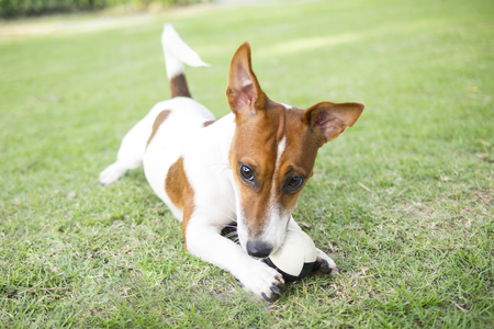 Happy Jack Russell Terrier puppy playing a ball in the summer park. 版權商用圖片