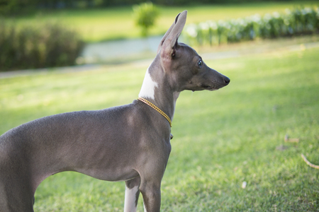 Close up photo of Italian Greyhound puppy with gold collar look around in the summer park. 版權商用圖片
