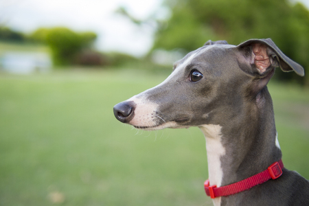 Close up photo of Italian Greyhound puppy with red collar sitting in the summer park. 版權商用圖片