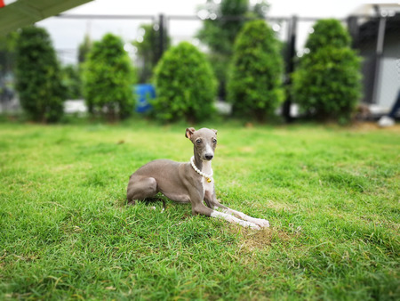 Portrait of Italian Greyhound puppy with pearl collar sitting in the summer park.