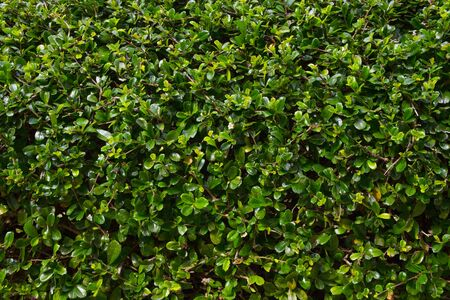 Green leaves hedge pattern (Wrightia religiosa tree) 版權商用圖片