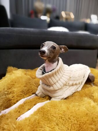 Portrait of Italian Greyhound puppy with the knitting sweater, blue colour sitting on the yellow pillow at cozy living room 版權商用圖片