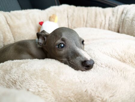Closeup of Italian Greyhound puppy, blue colour sitting on the pillow