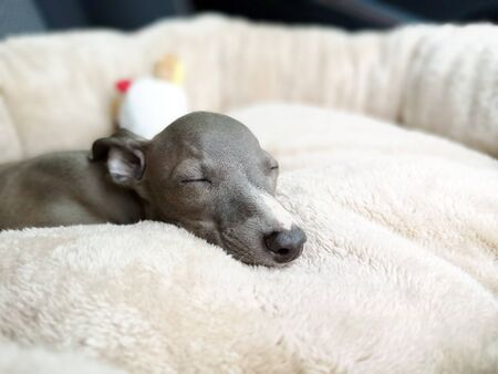Closeup of Italian Greyhound puppy, blue colour sleeping on the pillow 版權商用圖片