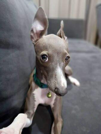 Italian Greyhound puppy sitting on the navy sofa taking a selfie at cozy living room