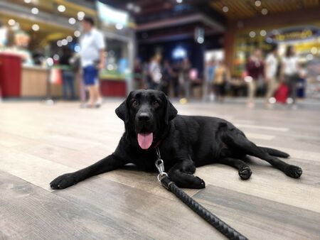 Portrait of Black Labrador retriever sitting on floor, waiting for his owner