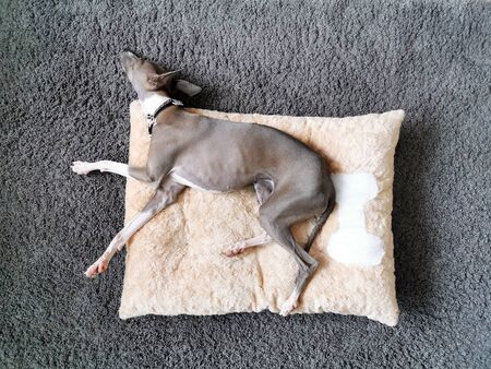Top view of Italian Greyhound puppy, blue colour sleeping on the pillow