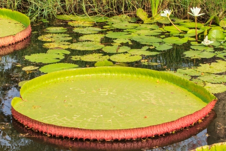 The victoria waterlily floating on a garden pond  photo