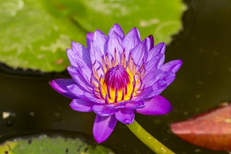 Beautiful violet lotus blossom in pond  photo