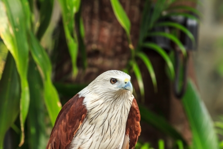 talons: Red Hawk in the zoo,Thailand