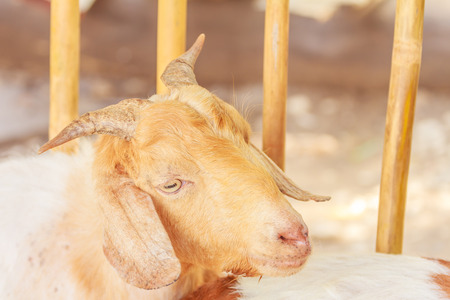 hircus: Goat in the Garden Party. Stock Photo