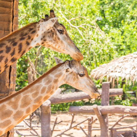 take care: Portrait of two giraffes take care together.