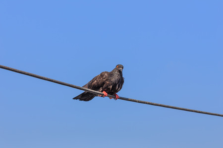 the weariness: Pigeons grip a cable on blue sky.