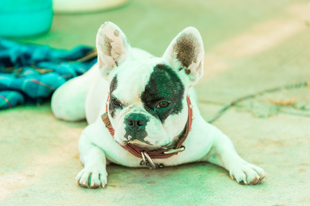 French bulldog lying on a floor and looking.