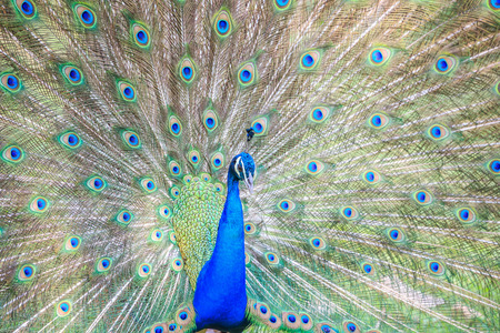Beautiful peacock colorful closeup view. Standard-Bild
