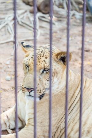 White tiger in steel cage at zoo. Standard-Bild
