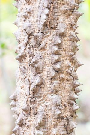 Closeup thorn on bole of bombax tree.