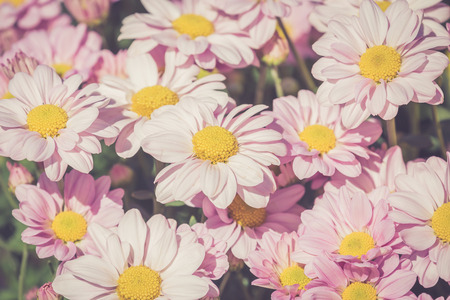 Beautiful chrysanthemum flowers in a garden,retro filter.