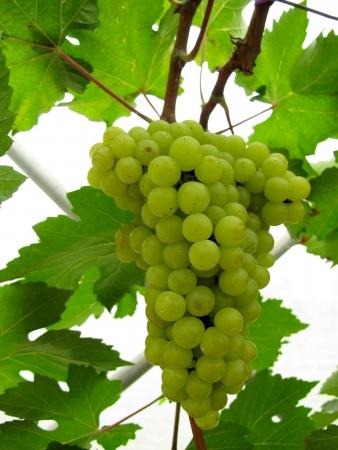 a green grapes at vineyard Stock Photo - 18221705