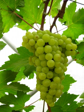 a green grapes at vineyard Stock Photo - 18221705
